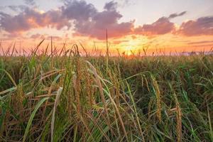 campo de arroz ao pôr do sol foto