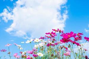 flores do cosmos e céu com espaço de cópia foto
