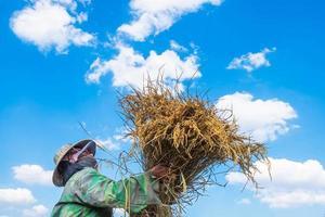 mulher colhendo arroz foto