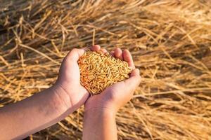 mãos segurando arroz seco foto