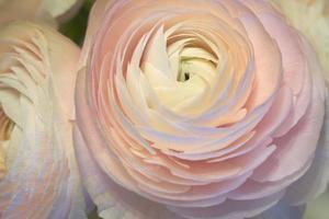 flores rosa ranúnculo fechadas com um fundo desfocado foto