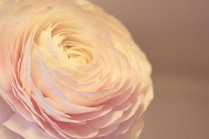 uma flor de ranúnculo rosa com um fundo desfocado foto