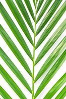 folha de palmeira isolada no fundo branco foto