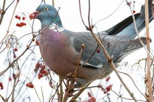 pombo empoleirado em uma árvore com baga vermelha no bico