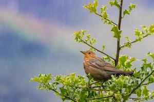 melro fêmea marrom na chuva