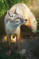 uma raposa corsac de perto