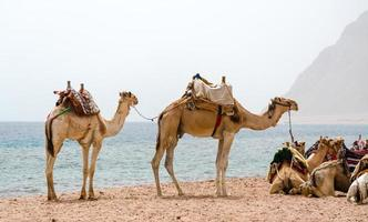 camelos em pé na praia foto