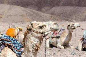 grupo de camelos montados foto
