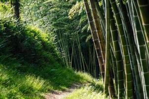floresta tropical com árvores de bambu foto