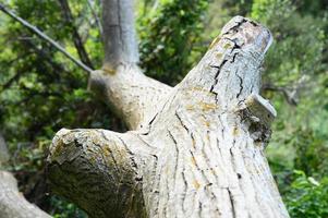 o tronco de uma velha árvore caída na floresta foto
