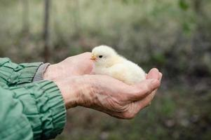 fofo pintinho recém-nascido amarelo nas mãos de um fazendeiro idoso no fundo da natureza