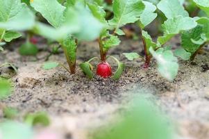 rabanetes jovens crescendo em uma cama no jardim