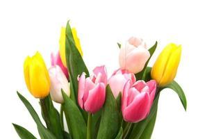 flores de tulipa rosa e amarela em um fundo branco