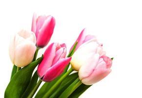 flores tulipa de cor rosa em um fundo branco