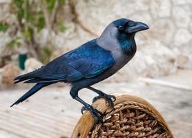 close-up de um corvo em uma cadeira
