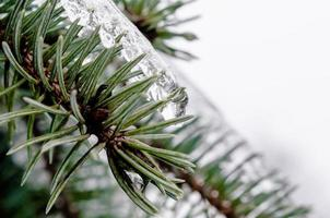 galho de pinheiro com gelo foto