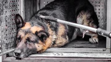 cachorro vadio velho em abrigo foto