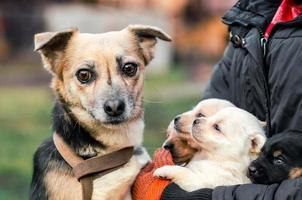 cão adulto e cachorrinhos com uma pessoa foto