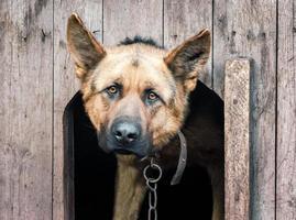 pastor alemão em uma corrente em uma casinha de cachorro de madeira foto