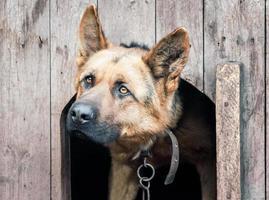 pastor alemão em casa de cachorro de madeira foto