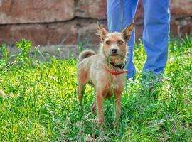 cachorro peludo no gramado com o dono foto