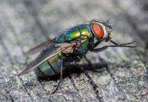 macro close-up de uma mosca doméstica ciclorrha, uma espécie de mosca comum encontrada em casas