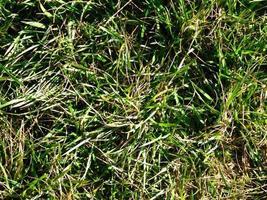grama verde em um campo