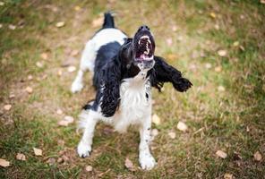 retrato de cachorro spaniel russo