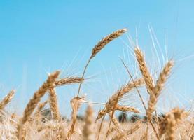 trigo com céu azul foto