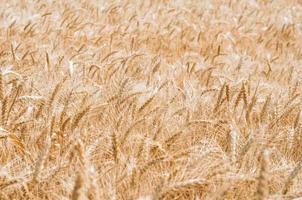 fundo de campo de trigo foto