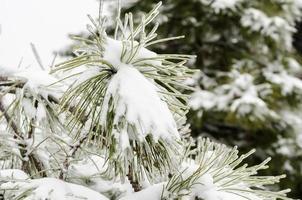neve em ramos verdes de pinheiro foto