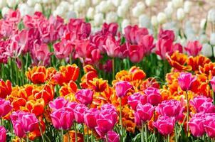 campo de tulipas híbridas coloridas foto