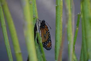 borboleta monarca descansando em uma planta