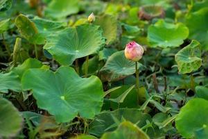 foco seletivo de close-up em flor de lótus rosa com folhas verdes desfocadas no fundo foto
