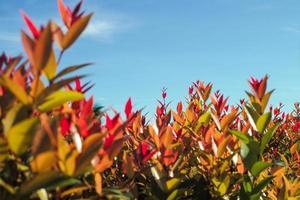foco seletivo em folhas jovens vermelhas com fundo de céu azul