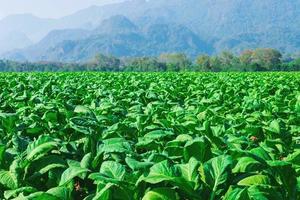 campo de plantas de tabaco com montanhas ao fundo