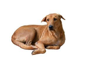 cachorro marrom isolado deitado no chão sobre fundo branco foto