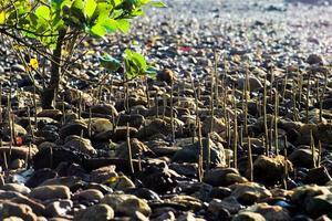 foco seletivo nas raízes de árvores de mangue crescem em um campo de pedras de areia em um dia ensolarado foto