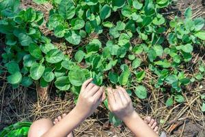 vista superior das mãos da menina colhendo vegetais da área de plantio