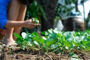closeup grupo de jovens brócolis chineses crescendo na horta