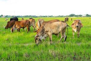 grupo de vacas comem a grama no grande campo com o plano de fundo da cidade foto