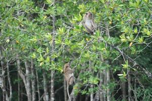 foco seletivo em macacos sentados em galhos de árvores de mangue foto