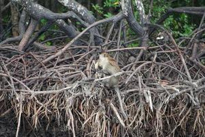 o foco seletivo no macaco fica nas raízes dos manguezais e come melancia com uma selva borrada no fundo