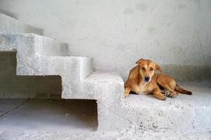 retrato de um cachorro marrom olhando para a câmera no chão de cimento