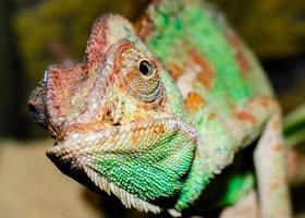 close-up de um camaleão foto