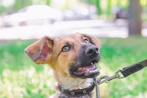 cachorro marrom na coleira foto