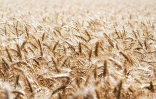 campo de trigo durante o dia foto
