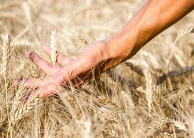 mão correndo pelo campo de trigo foto
