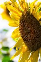 close-up de um girassol brilhante foto