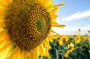 campo de girassol brilhante foto